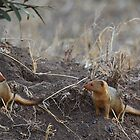 Dwarf Mongoose, Serengeti, Tanzania.  by Carole-Anne
