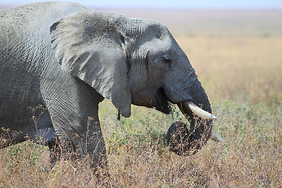 African Elephant Portrait, Serengeti, Tanzania. by Carole-Anne