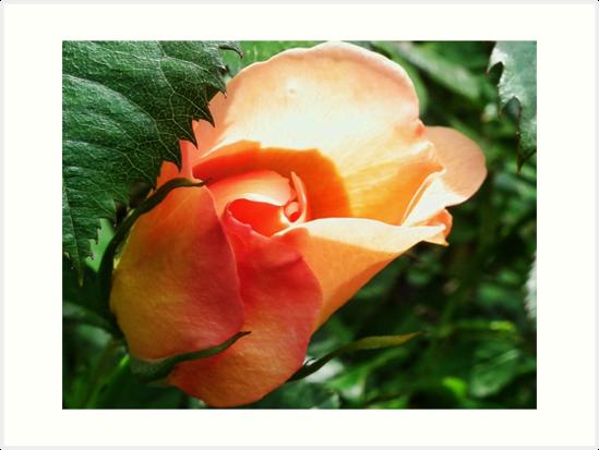 Rosy Glow by lynn carter