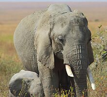 Elephants, Serengeti, Tanzania.   by Carole-Anne
