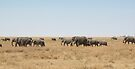 Elephant Herd, Serengeti, Tanzania  by Carole-Anne