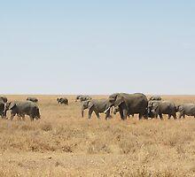 Elephant Herd, Serengeti, Tanzania  by Carole-Anne