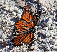 Butterfly Love by CarolM
