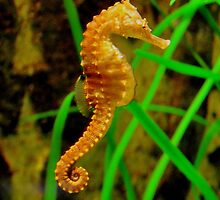 Seahorse at Munich Aquarium Sealife by Daidalos