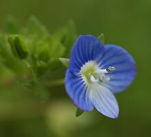 Persian Speedwell by marens