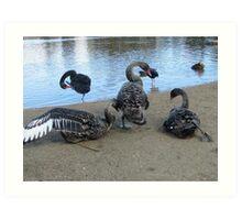 Swans at Lake Ginninderra - Canberra Australia. Art Print