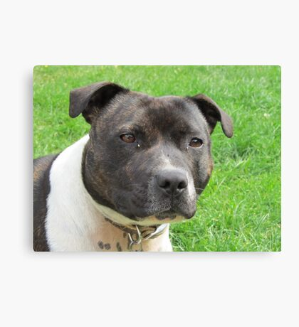 Headshot of a Staffordshire Bull Terrier Canvas Print