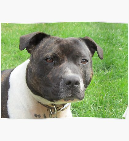 Headshot of a Staffordshire Bull Terrier Poster
