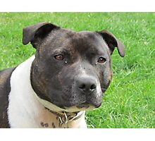 Headshot of a Staffordshire Bull Terrier Photographic Print