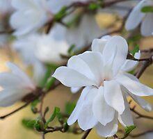 Magnolia Glow by Lynn Wiles