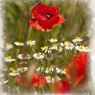 Poppy by Richard Downes