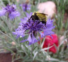 Bumble Bee doing his work by Margot Ardourel