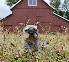 Miniature Schnauzer in Front of Old Red Barn by The Accidental Farmers