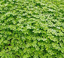 Fresh green clover. by cloud7