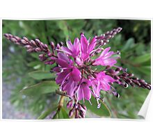 """Symmetry of Pink Flowers - Hebe """"Great Orme"""" Poster"""
