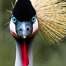Grey Crowned Crane by Ben Malcolm