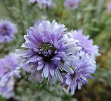 "Purple ""China Aster"" (Callistephus) by Marilyn Harris"