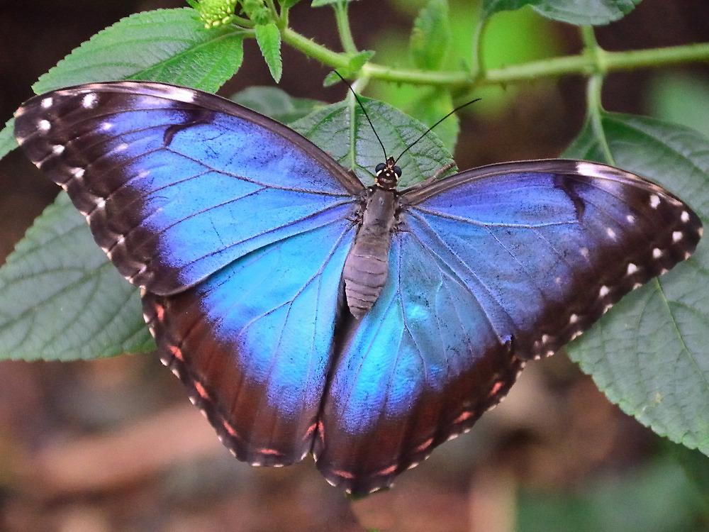 Blue Morpho Butterfly by Steve