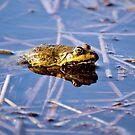 Frog in the water (diplasiocoela) by Dfilyagin