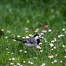 White Wagtail by iulix