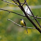 Yellow Wagtail by iulix
