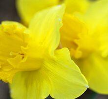 Daffodils by Jenny Webber