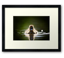 The Inquisitive Duckling Framed Print