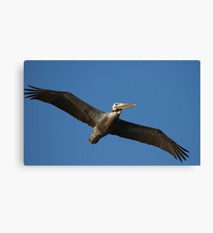Brown Pelican In Flight Canvas Print