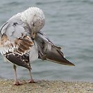 Young Seagull Preening (best seen larger) by MaryinMaine