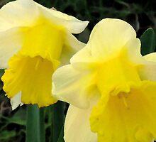 Daffodills by dianajj50