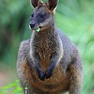 Black Wallaby or Swamp Wallaby by Donovan Wilson