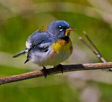 Norther Parula by John Absher