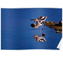 American Avocets - On The Hunt Poster