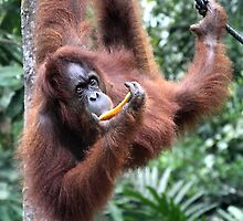 Just Hanging Around, Young Female Orangutan, Borneo  by Carole-Anne