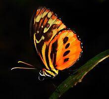 Ismenius Longwing: orange butterfly on black by Steve