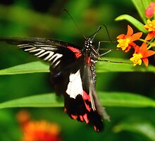 Great Mormon butterfly by Steve