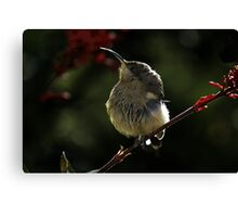 Eastern Spine-bill chick Canvas Print