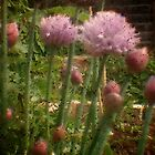 Chives - Through the Viewfinder by Lisa Hafey