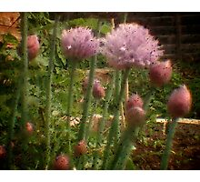 Chives - Through the Viewfinder Photographic Print