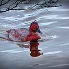 Photo of a red headed Duck on the water by Randall Nyhof