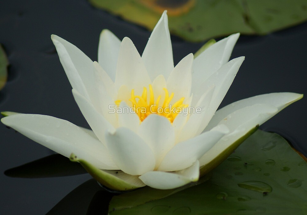 Lotus ~ Sign Of Peace And Enlightenment by Sandra Cockayne