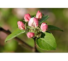 (dwarf) Apple tree blossom by the golden light Photographic Print