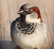 House Sparrow by Ticker