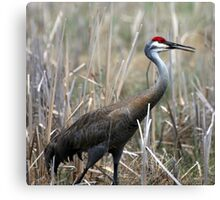 Sandhill Crane Surprise Canvas Print