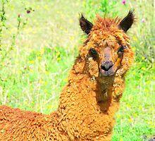 Llamas at the Farm 02 by Daidalos