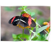 Red Tipped Wing Butterfly (Red Passion-flower Butterfly) Poster