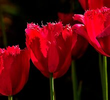 Three In A row - Tulips by delros