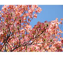 Trees art Pink Dogwood Tree Flowers Blue Sky Baslee Troutman Photographic Print