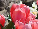 Pink Tulip Flowers Floral Garden art Baslee Troutman by BasleeArtPrints