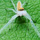 Two Striped Telamonia Spider by George Kashouh
